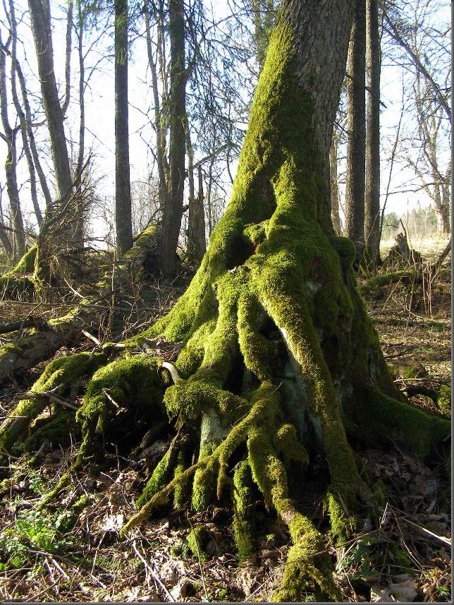 TreebeardFoot